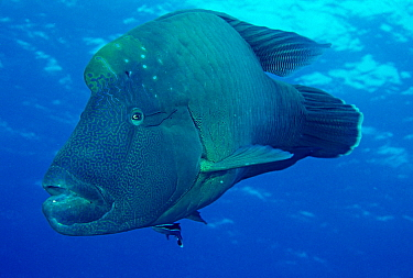 Double-headed Maori Wrasse (Cheilinus undulatus) with Remora (Remora remora), Great Barrier Reef, Queensland, Australia