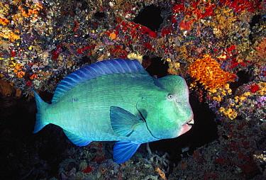 Bumphead Parrotfish (Bolbometopon muricatum), Great Barrier Reef, Queensland, Australia