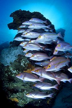 Yellow-banded Snapper (Lutjanus adetii) school, Great Barrier Reef, Queensland, Australia