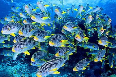 Diagonal-banded Sweetlips (Plectorhinchus lineatus) school, Great Barrier Reef, Queensland, Australia
