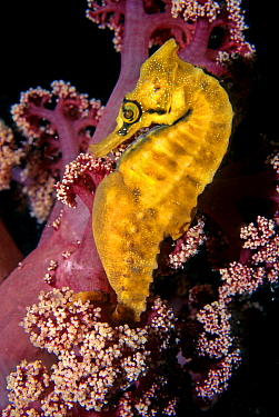 Golden Seahorse (Hippocampus whitei), Nelson Bay, New South Wales, Australia
