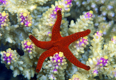 Indian Sea Star (Fromia indica), Great Barrier Reef, Queensland, Australia