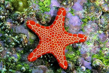 Vermilion Biscuit Star (Pentagonaster duebeni), Solitary Islands Marine Park, New South Wales, Australia