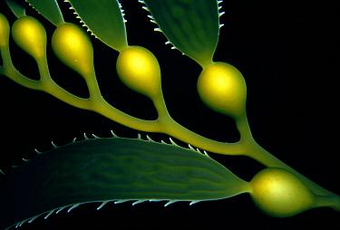 Giant Kelp (Macrocystis pyrifera) air bladders and blades, Tasman Peninsula, Tasmania, Australia