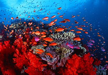 Sea Goldie (Pseudanthias squamipinnis) school, Great Barrier Reef, Queensland, Australia