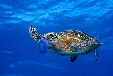 Green Sea Turtle (Chelonia mydas) feeding on jellyfish, Great Barrier Reef, Queensland, Australia