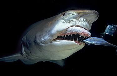 Grey Nurse Shark (Carcharias taurus) feeding on fish prey at night, New South Wales, Australia