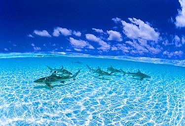 Black-tip Reef Shark (Carcharhinus melanopterus) group, Keeling Islands, Western Australia, Australia