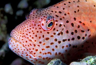 Freckled Hawkfish (Paracirrhites forsteri), Great Barrier Reef, Queensland, Australia