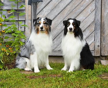 Australian Shepherd (Canis familiaris) pair, North America