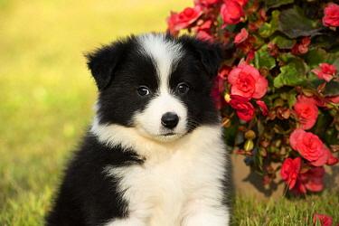 Border Collie (Canis familiaris) puppy, North America