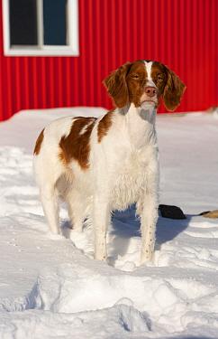 Brittany Spaniel (Canis familiaris) in winter, North America