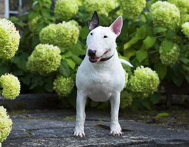 Bull Terrier (Canis familiaris), North America