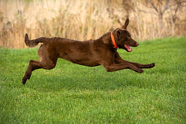 Chesapeake Bay Retriever (Canis familiaris) running, North America