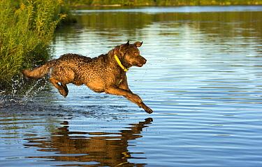 Chesapeake Bay Retriever (Canis familiaris) jumping into pond, North America