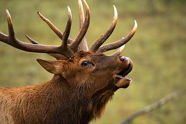 Elk (Cervus elaphus) bull bugling in autumn, North America