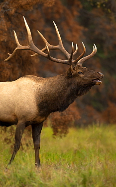 Elk (Cervus elaphus) bull bugling in autumn, North America