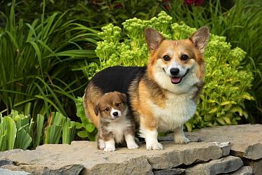 Pembroke Welsh Corgi (Canis familiaris) and puppy, North America