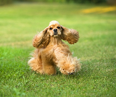 Cocker Spaniel (Canis familiaris) running, North America