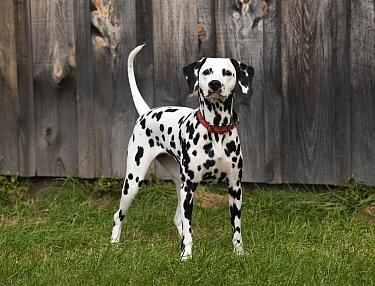 Dalmatian (Canis familiaris), North America