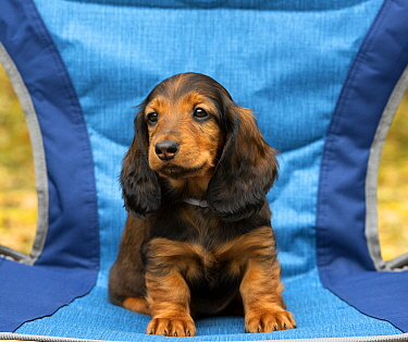 Standard Long-haired Dachshund (Canis familiaris) puppy, North America