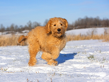 Goldendoodle (Canis familiaris) puppy running in winter, North America