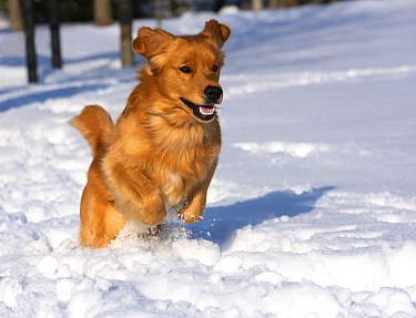 Golden Retriever (Canis familiaris) running in winter, North America