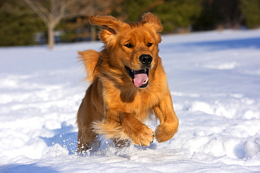 Golden Retriever (Canis familiaris) running in winter, North America