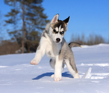 Siberian Husky (Canis familiaris) puppy playing in winter, North America