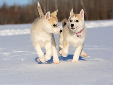 Siberian Husky (Canis familiaris) puppies playing in winter, North America