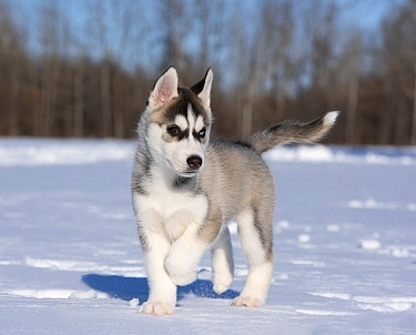 Siberian Husky (Canis familiaris) puppy running in winter, North America