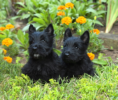 Scottish Terrier (Canis familiaris) puppies, North America