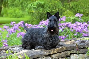 Scottish Terrier (Canis familiaris), North America