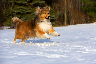 Shetland Sheepdog (Canis familiaris) running in winter, North America