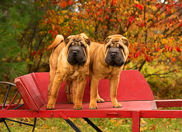 Shar Pei (Canis familiaris) puppies, North America
