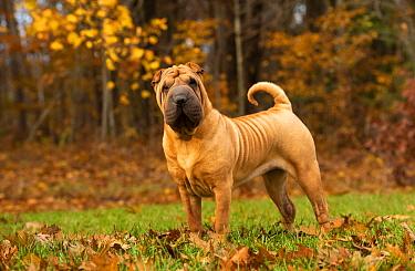 Shar Pei (Canis familiaris), North America