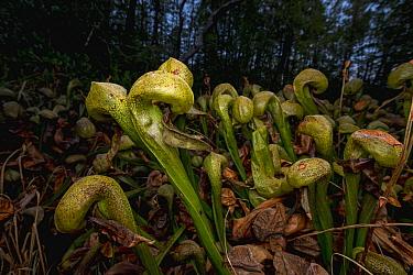 Cobra Lily (Darlingtonia californica) carnivorous plant, Florence, Oregon