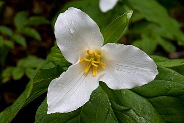 Pacific Trillium (Trillium ovatum) flower, Oregon