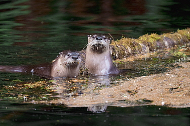 North American River Otter (Lontra canadensis) pair, Newport, Oregon