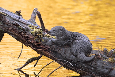 North American River Otter (Lontra canadensis), Newport, Oregon