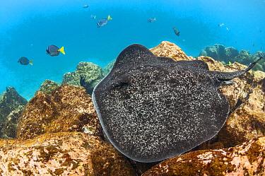 Speckled Stingray (Taeniura meyeni), Santa Fe Island, Galapagos Islands, Ecuador