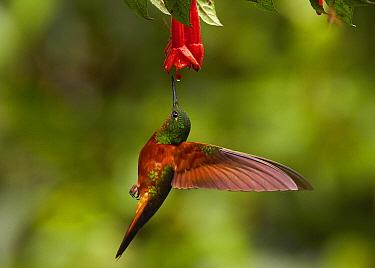 Chestnut-breasted Coronet (Boissonneaua matthewsii) feeding on flower nectar, Andes, Ecuador