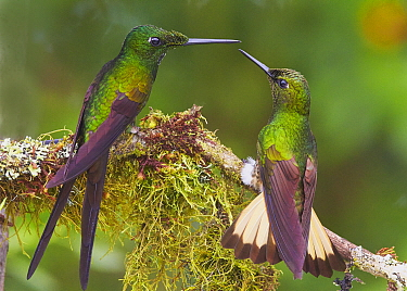Empress Brilliant (Heliodoxa imperatrix) and Buff-tailed Coronet (Boissonneaua flavescens) hummingbirds fighting, Andes, Ecuador