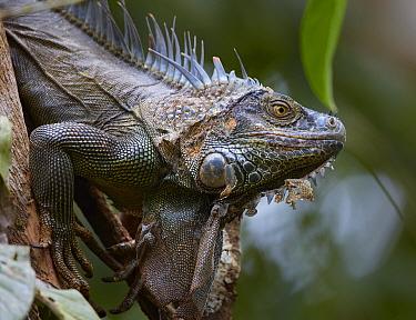 Black Spiny-tailed Iguana (Ctenosaura similis), Costa Rica