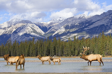 Rocky Mountain Elk (Cervus canadensis nelsoni) bull and harem in river, North America