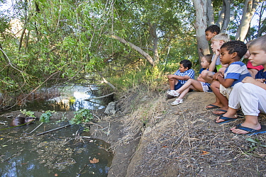 American Beaver (Castor canadensis) being watched by children in urban environment, Martinez, California