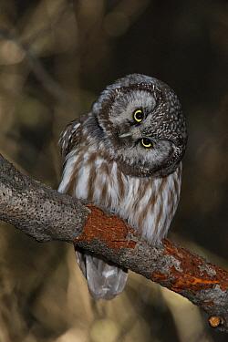 Boreal Owl (Aegolius funereus) listening while hunting, Alaska