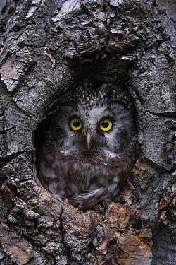 Boreal Owl (Aegolius funereus) female in nest cavity, Alaska