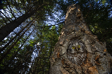 Boreal Owl (Aegolius funereus) female in nest cavity in coniferous forest, Alaska