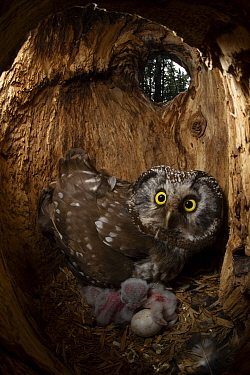 Boreal Owl (Aegolius funereus) mother with owlets and egg in nest cavity, Alaska